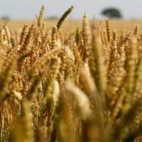 Čo obsahuje pšenica?